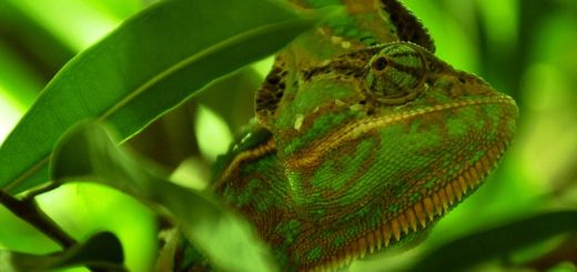 Terarium pro chameleona